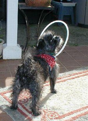 Трость для слепой собаки (11 фото)