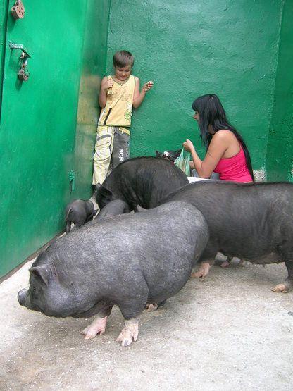Общение с вьетнамскими поросятами (2 фото)