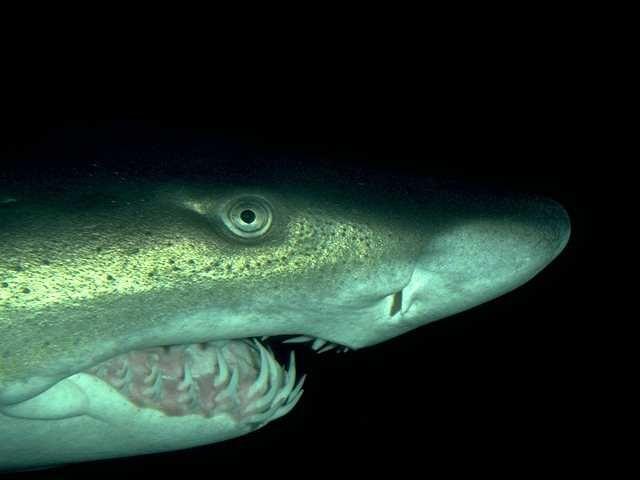 Тигровая акула.