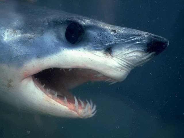 Если спросить обывателей о самой страшной рыбе, 99% назовут акулу.