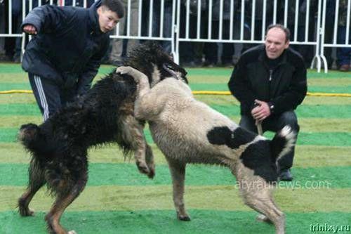 Кровавые разборки: мифы и ужасы собачьих боев... (44 фото)