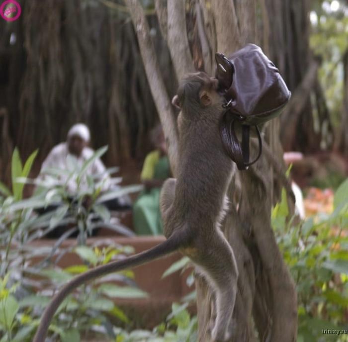 Обезьянка-клептоманка (11 фото)