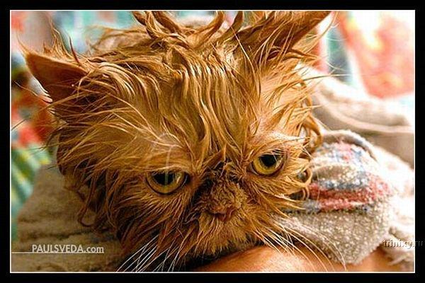 Мокрые коты - несчастные коты. Большая подборка (43 фото)