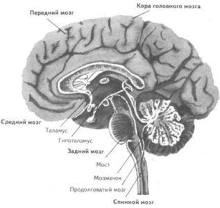 Центральная нервная система (ц.н.с), если ее рассматривать более детально, состоит из переднего мозга, среднего мозга...
