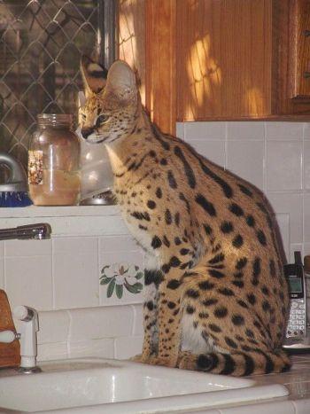 Прикольно ) Обязанности кота по дому