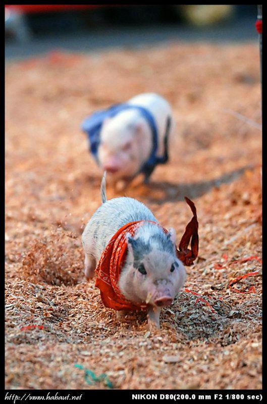 Один из моих любимых видов спорта - поросячьи бега (9 фото)