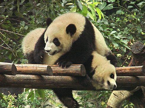 В гости к пандам (33 фото + видео)
