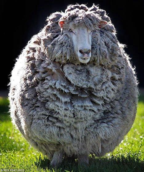 Заросшая овца (2 фото)