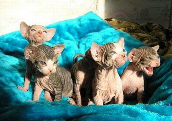 bald kitten koty rasa Sfinks bezwłose