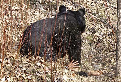 Охота на медведя чуть не закончилась трагедией (6 фото)