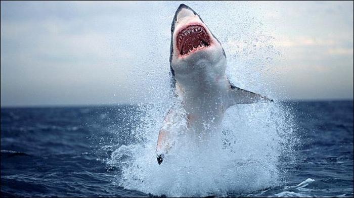 Потрясающие кадры. Охота акулы на тюленей (9 фото)