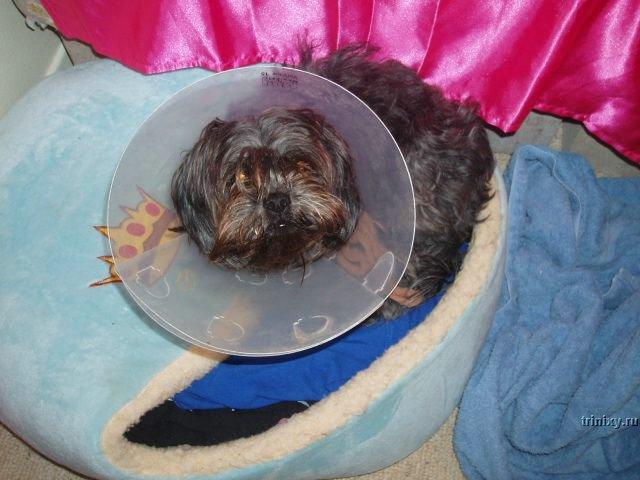 Несчастные собачки с фиксаторами (49 фото)