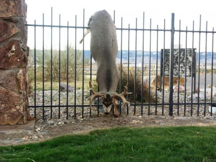 Бедняга олень (( (5 фото)