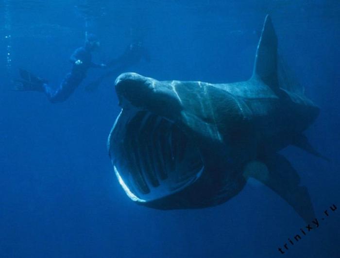 Гигантские акулы встречаются как в восточном, так и в западном полушарии, предпочитая