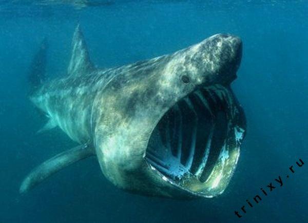 8. Goblin Shark.