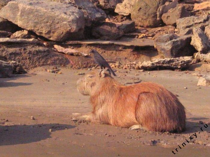 Капибара или водосвинка (51 фото)