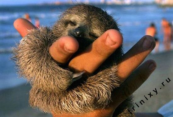 Забавные ленивцы (52 фото)