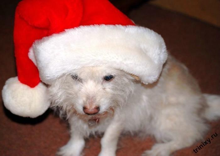 Санта-собаки (45 фото)