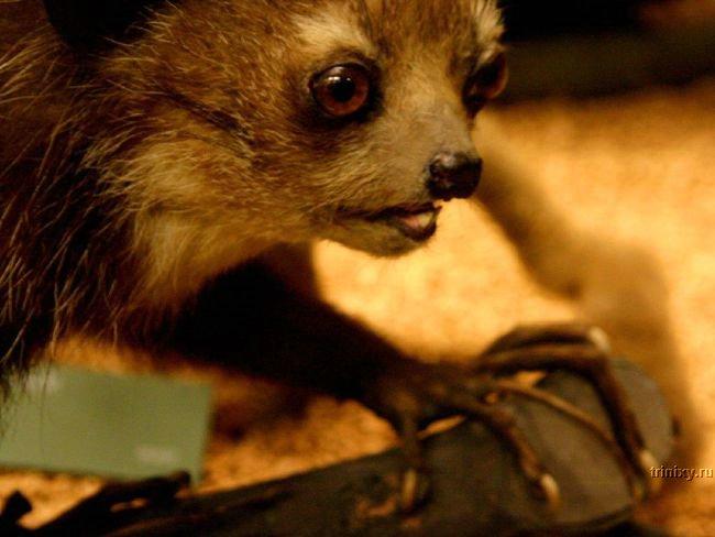 Айе-айе - руконожка с Мадагаскара (32 фото + видео)
