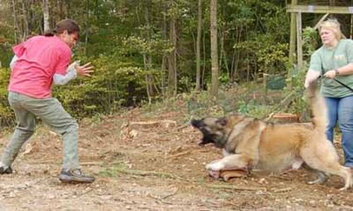Злая кавказская овчарка (14 фото)