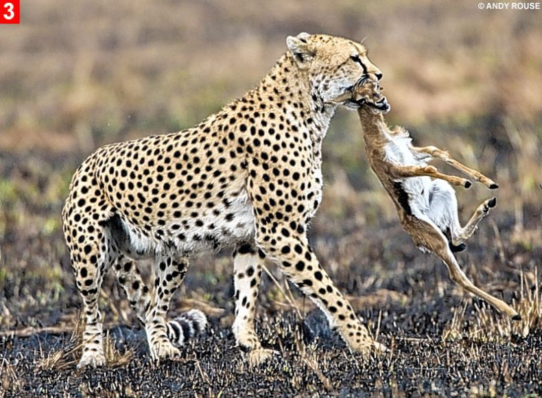 Дружба маленьких гепардов и газели (8 фото)