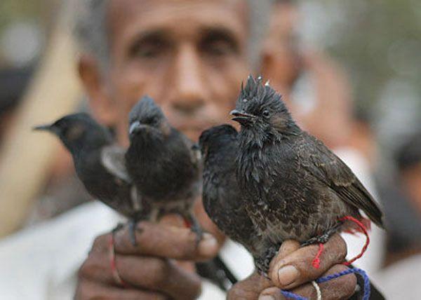 Птичьи бои