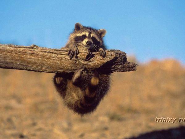 Смешные еноты (32 фото)