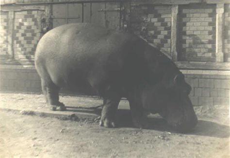 Очень позитивно ) История одного бегемота или водка в помощь
