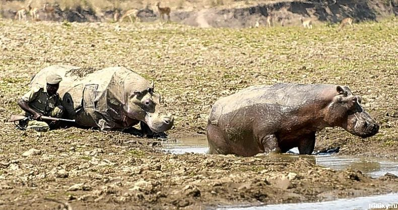Изучение гиппопотамов в их природной среде обитания (11 фото)