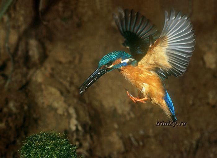 Красивый рыболов Kingsfighter (20 фото)