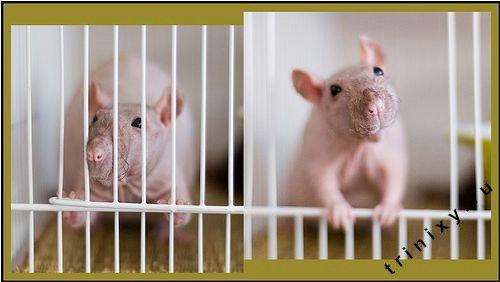 Лысые крысы (48 фото)