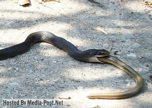 И такое бывает. Змея ест змею (10 фото)
