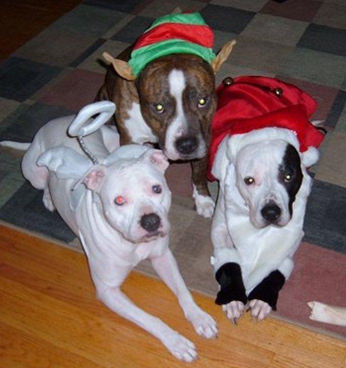 Поговорим о бойцовых собаках, Так ли страшен черт, как его рисуют?