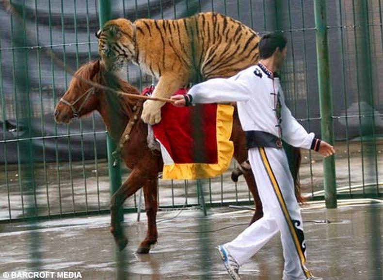 Фотографии дня. Лошадь, которая катает львов и тигров (3 фото)