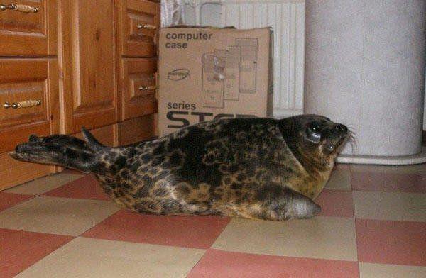 Домашний тюлень (8 фото)