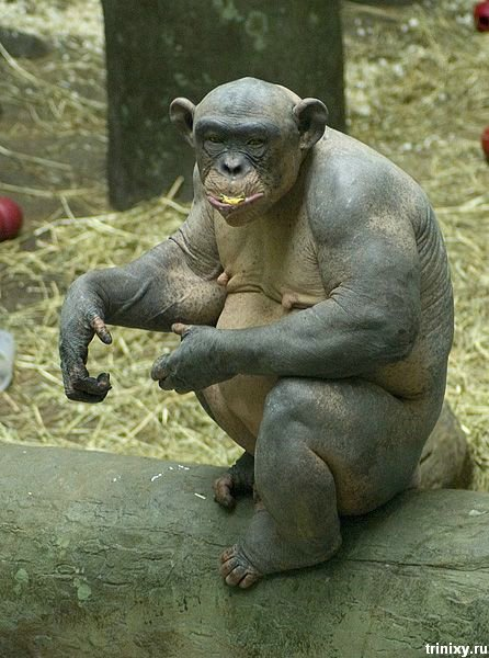 Синдер - лысая шимпанзе