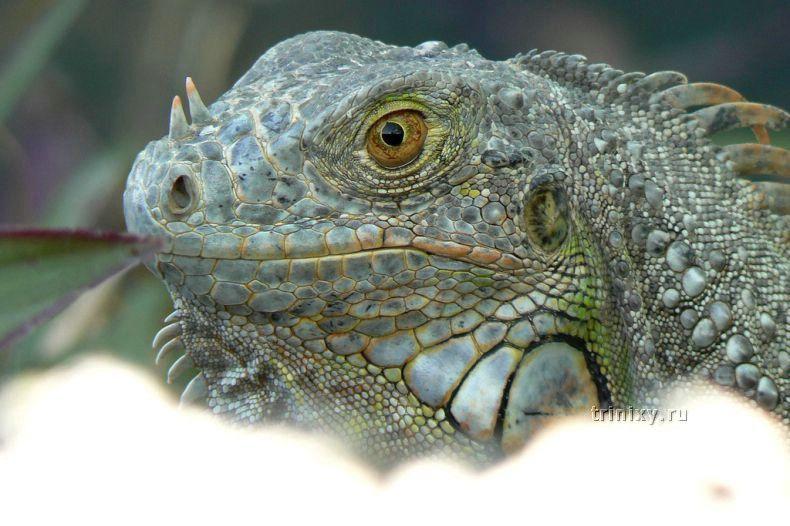 Игуана - настоящий домашний дракон (34 фото)