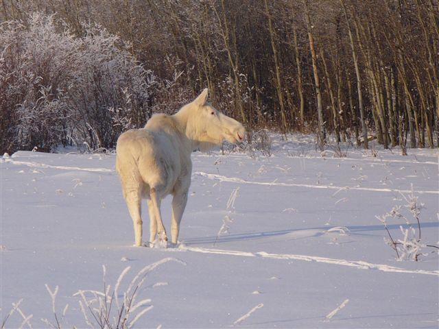 Лось-альбинос (9 фото)