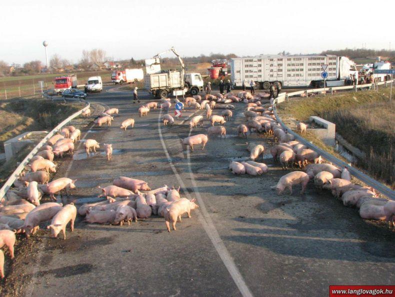 Хрюши захватили шоссе в Венгрии (10 фото)