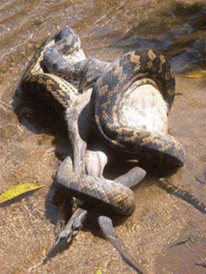 Ужас! Австралийский питон съел собаку (8 Фото)