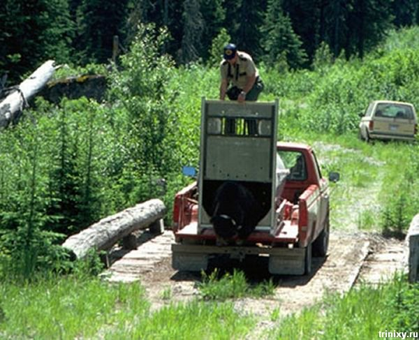 Как медведя на волю выпускали (9 фото)