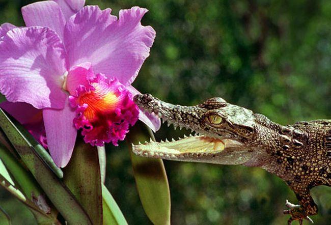 Интересная фотосессия крокодилов (17 фото)