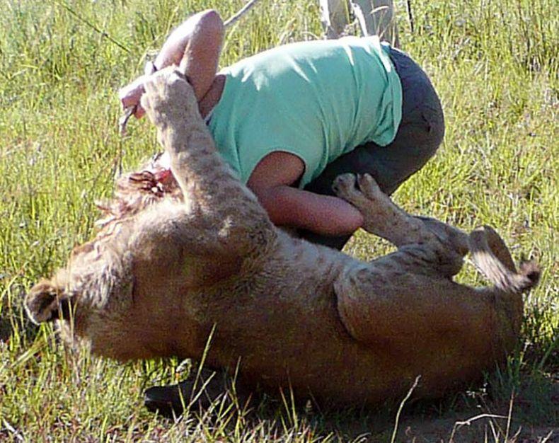 Со львами лучше не играть (4 фото)