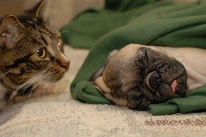 Мопс - очередная грустная собачка (11 фото)