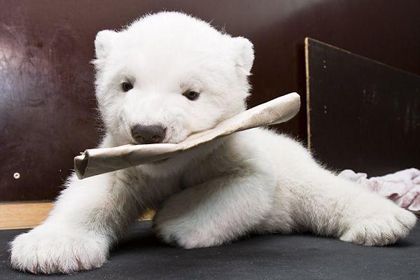 Позитивчик. Белый медвежонок Flocke (18 фото)