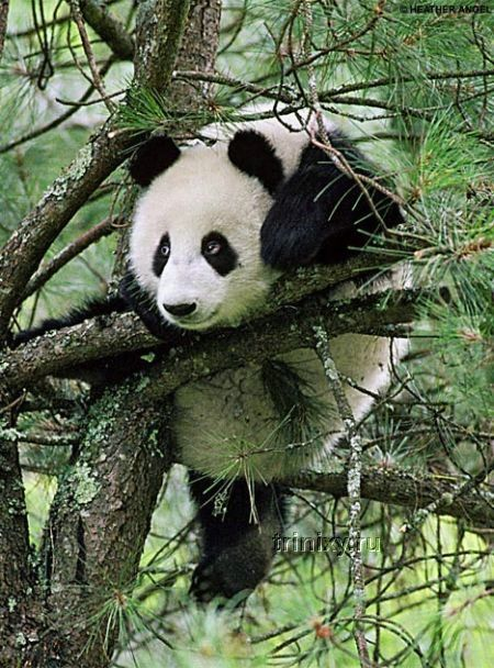Как падают панды (4 фото)
