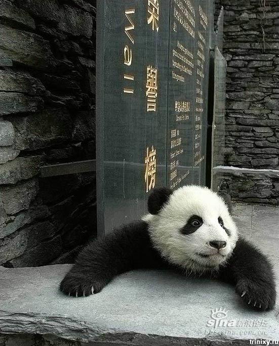 Позитивно ) Маленькие панды (8 фото)