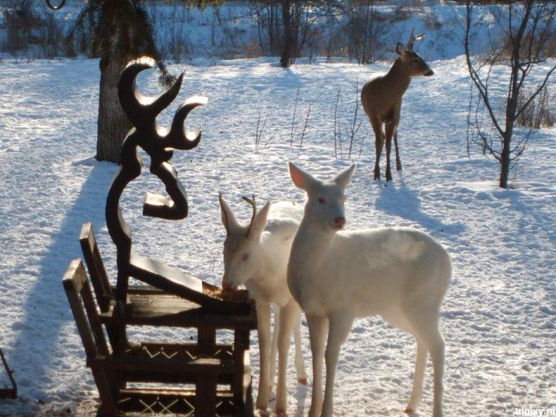 Как классно ) Сразу два олененка-альбиноса (5 фото)