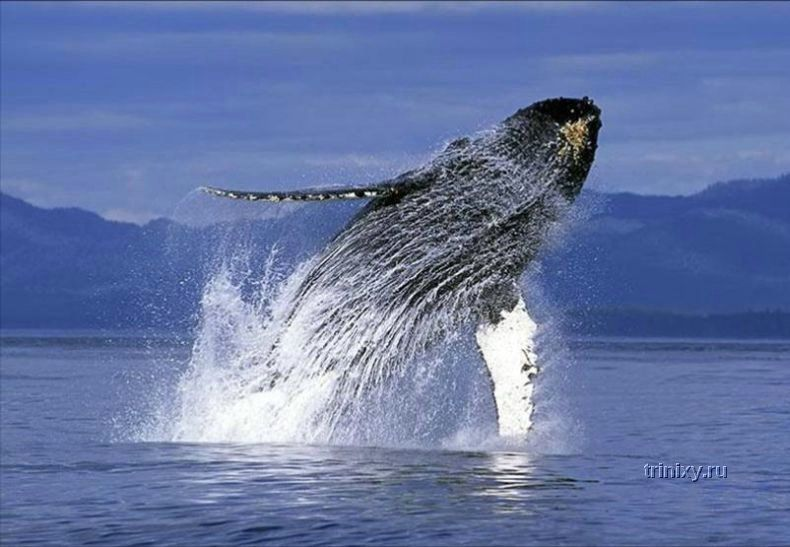 Очень красивые фотографии китов (14 штук)