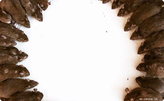 Про крыс в Индии (24 фото)